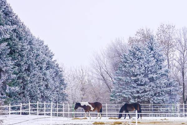 Photograph - Horses In The Snow by Susan Rydberg