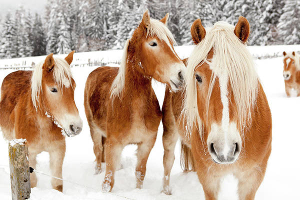 Landscape Photograph - Horses In White Winter Landscape by Angiephotos