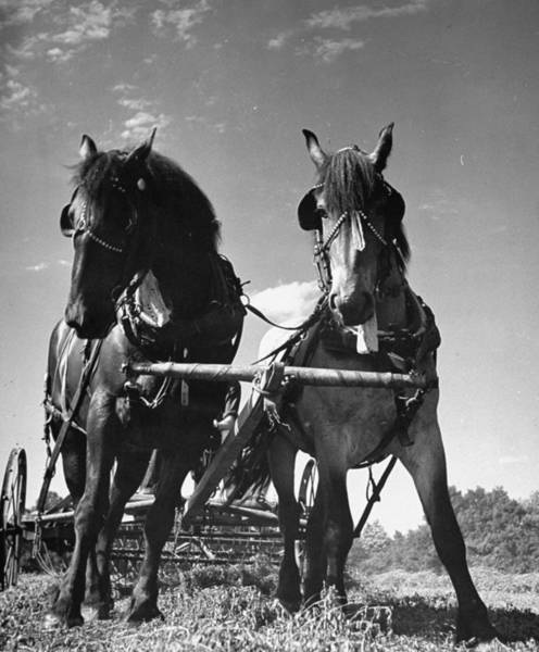 Pulling Photograph - Horses Pulling Farm Equipment On The Wis by Hansel Mieth