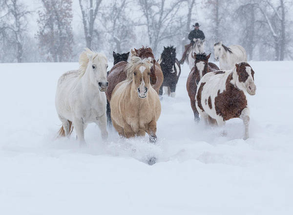 Wall Art - Photograph - Horses Running Through Snow, Hideout by Darrell Gulin
