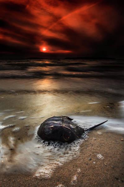 Wall Art - Photograph - Horseshoe Crab And Sunset by Dapixara Art