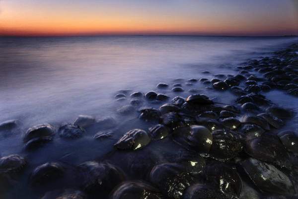 Wall Art - Photograph - Horseshoe Crabs Spawning At Dusk by Mint Images