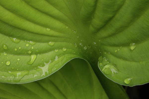 Photograph - Hosta by Bob Cournoyer