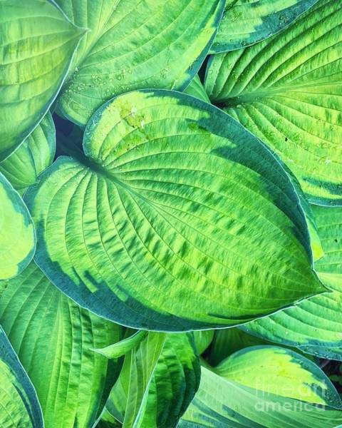Wall Art - Photograph - Hosta by HD Connelly