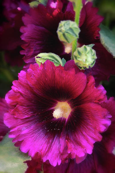 Photograph - Hot Hollyhock  by Saija Lehtonen