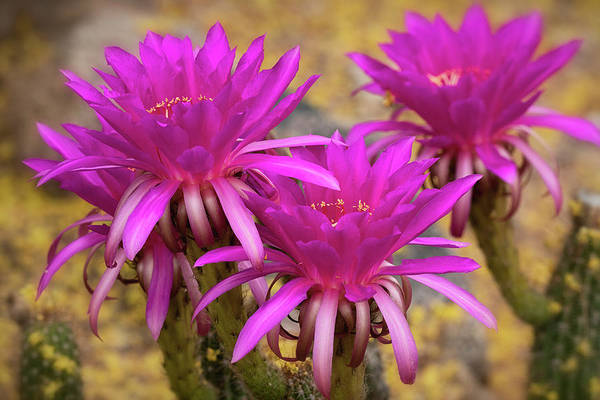 Photograph - Hot Pink Echinopsis  by Saija Lehtonen