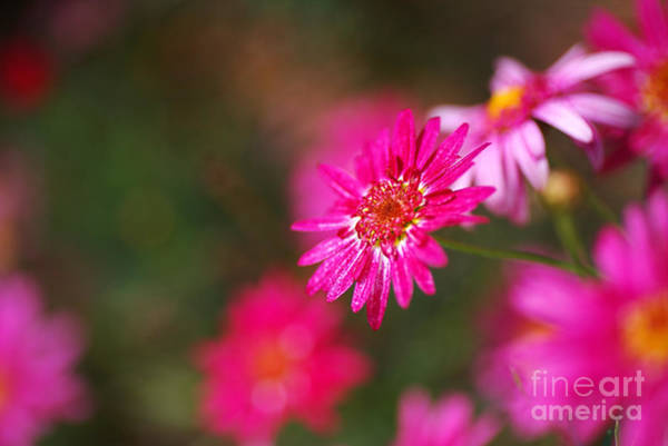 Photograph - Hot Pink Or Not A Daisy  by Joy Watson