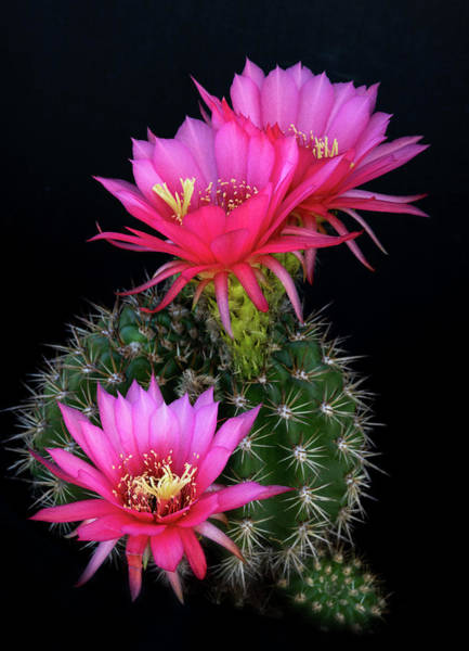 Photograph - Hot Pink Torch Cacti  by Saija Lehtonen