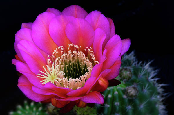 Photograph - Hot Pink Trichocereus by Saija Lehtonen