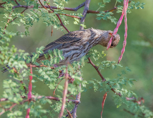 Photograph - House Finch 4504-080119 by Tam Ryan