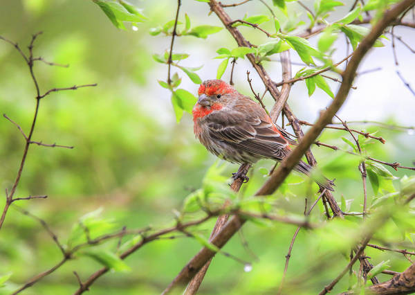 Wall Art - Photograph - House Finch In Spring by Dan Sproul