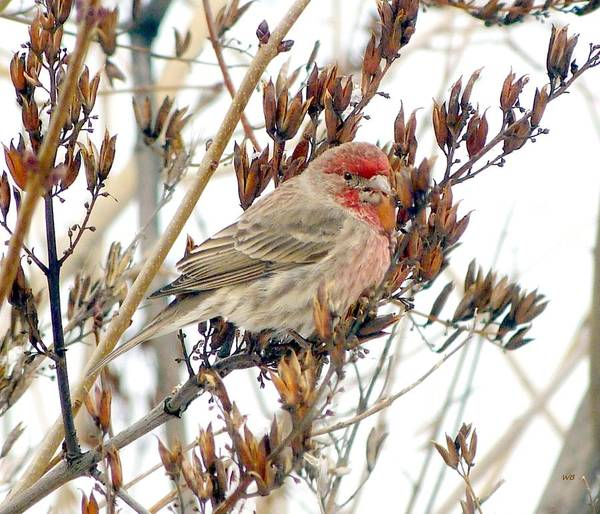 House Finch Photograph - House Finch In Winter by Will Borden