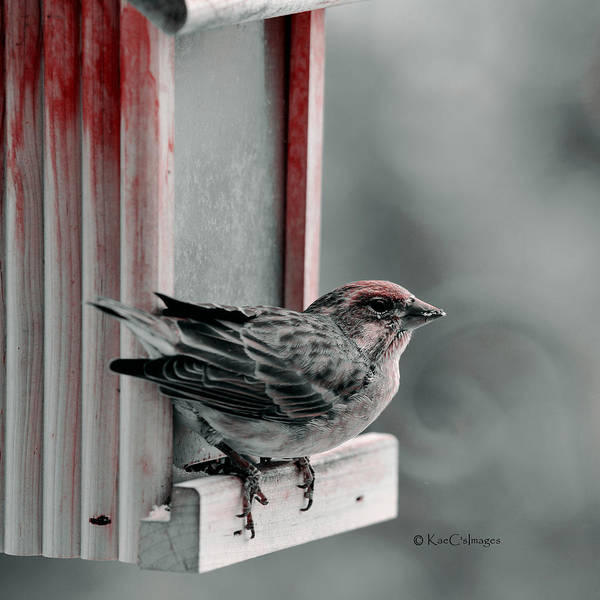 House Finch Photograph - House Finch On Feeder by Kae Cheatham