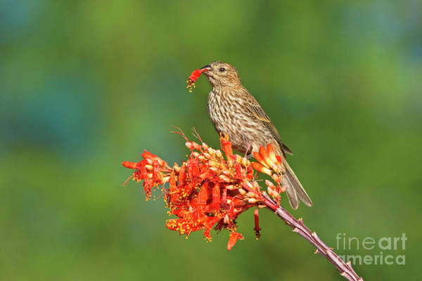 Photograph - House Finch On Flowering Ocotillo Arizona by Dave Welling