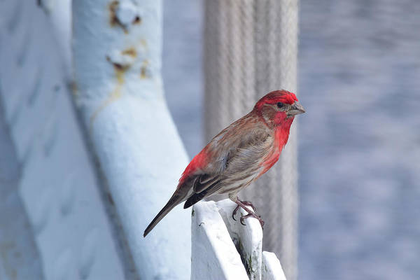 Photograph - House Finch On The U.s.s. Wisconsin by Nicole Lloyd
