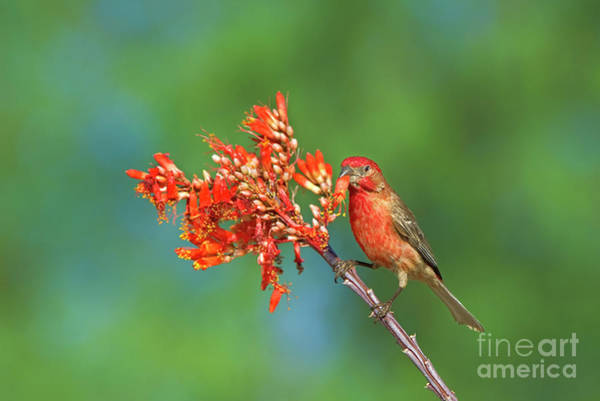 Photograph - House Finch On Wildflowers Arizona  by Dave Welling