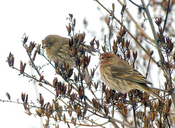 Photograph - House Finch Pair by Will Borden