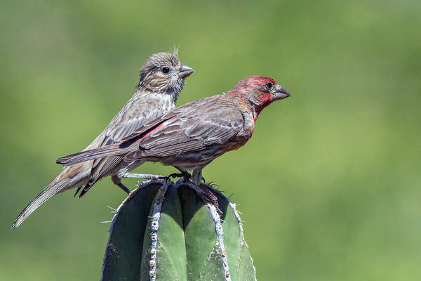 Photograph - House Finches 8265-042519 by Tam Ryan