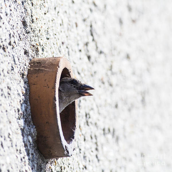 Wall Art - Photograph - House Sparrow Head Sticking From The by Martin Janca