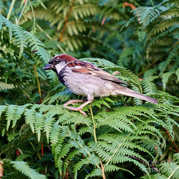 Photograph - House Sparrow Male Perched On Fern by Pablo Avanzini
