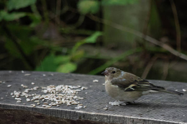 Photograph - House Sparrow Next To Seed On Bench by Scott Lyons