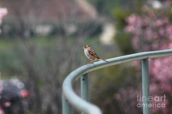 Photograph - House Sparrow On Rail At Ronald Reagan Library by Colleen Cornelius