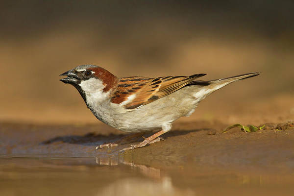 House Sparrow Photograph - House Sparrow Passer Domesticus Male At by Danita Delimont