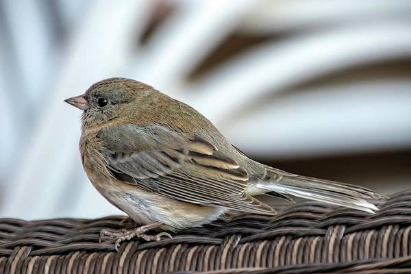 House Sparrow Photograph - House Sparrow by Sandi Kroll