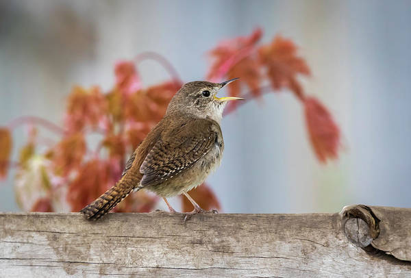 Photograph - House Wren 2019-1 by Thomas Young