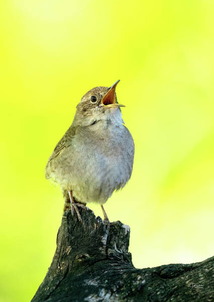 Photograph - House Wren Song by Judi Dressler
