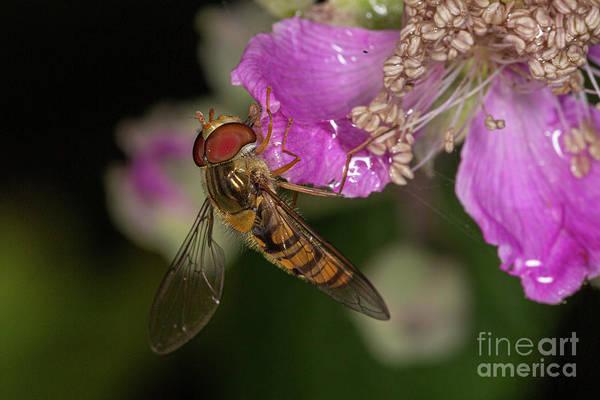 Photograph - Hover Fly Feeding by Brian Roscorla