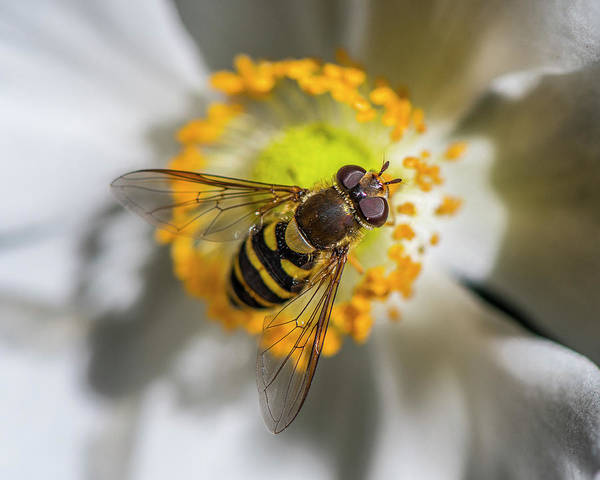 Photograph - Hover Fly On Camellia  by Matthew Irvin