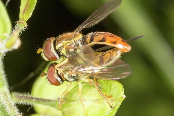 Photograph - Hoverflies 6081501 by Rick Veldman