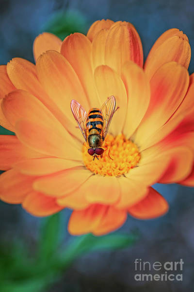 Wall Art - Photograph - Hoverfly by Adrian Evans