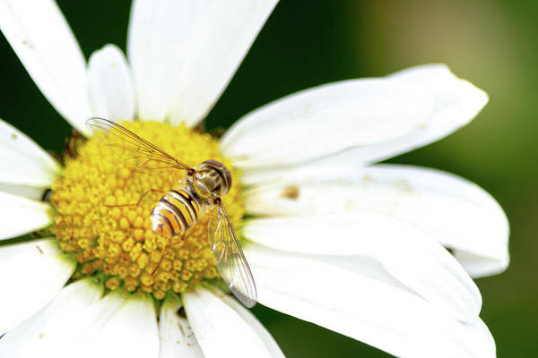 Photograph - Hoverfly On White Flower by Scott Lyons