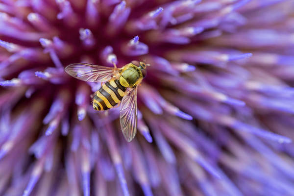 Wall Art - Photograph - Hoverfly Resting On A Giant Purple Thistle by Anita Nicholson