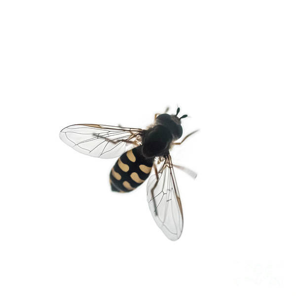 Wall Art - Photograph - Hoverfly Syrphus Ribesii K2 by Ilan Rosen