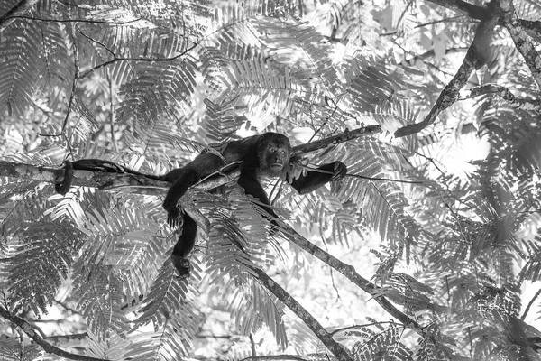 Wall Art - Photograph - Howler Monkey Bw Costa Rica  by Betsy Knapp
