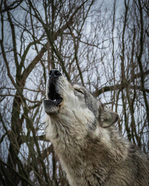 Photograph - Howlin by Laura Hedien