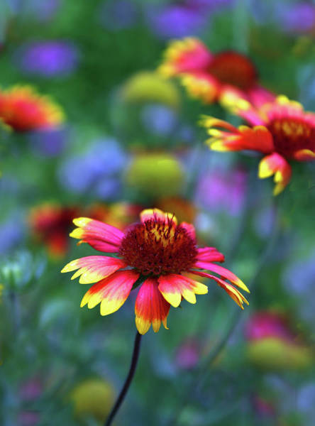 Wall Art - Photograph - Indian Blanket by Jessica Jenney