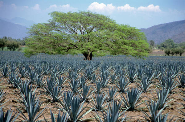 Jalisco Photograph - Huanacaxtle Tree In A Field Of Young by Mark D Callanan