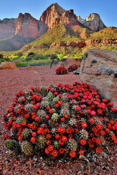 Photograph - Huge Cacti Bloom In Zion Np by Ray Mathis
