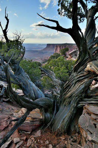 Photograph - Huge Gnarly Juniper In Canyonlands Np by Ray Mathis