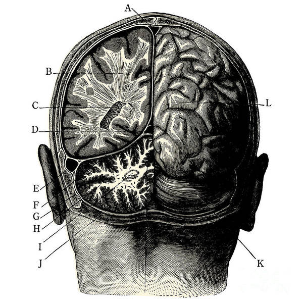 Injury Wall Art - Digital Art - Humain Brain -vintage Engraved by Lynea