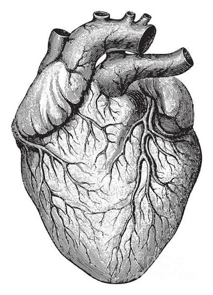 Engraved Digital Art - Human Heart  Vintage Illustrations From by Hein Nouwens
