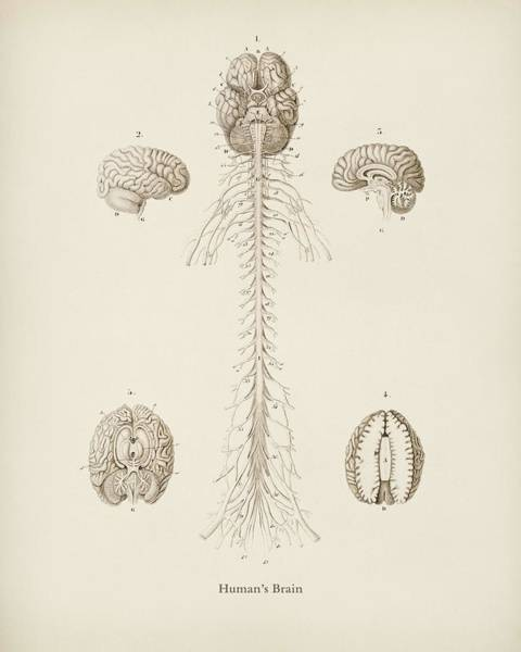 Brain Painting - Human S Brain Illustrated By Charles Dessalines D' Orbigny  1806 1876  by Celestial Images