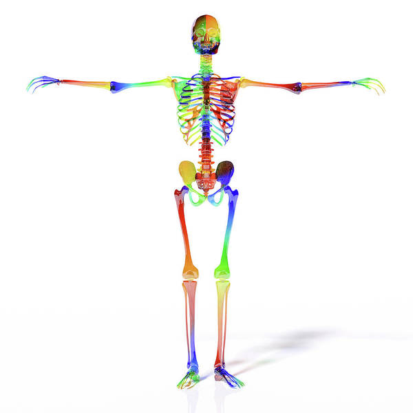 Reference Wall Art - Digital Art - Human Skeleton Model by Betsy Knapp