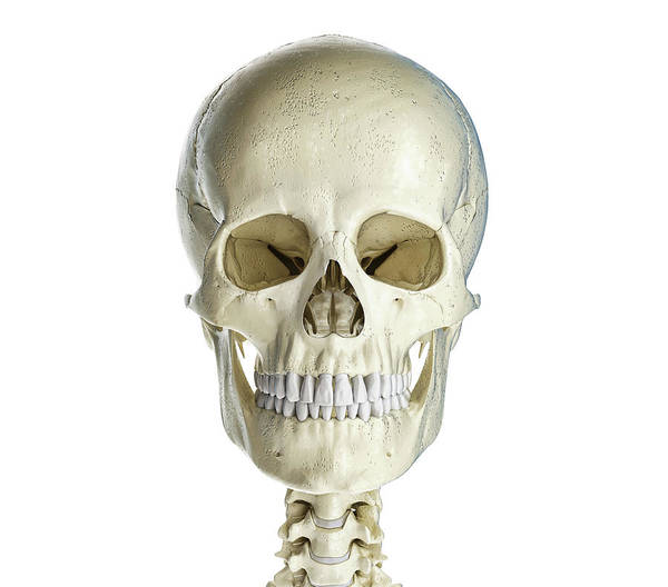 Wall Art - Photograph - Human Skull Viewed From The Front by Leonello Calvetti