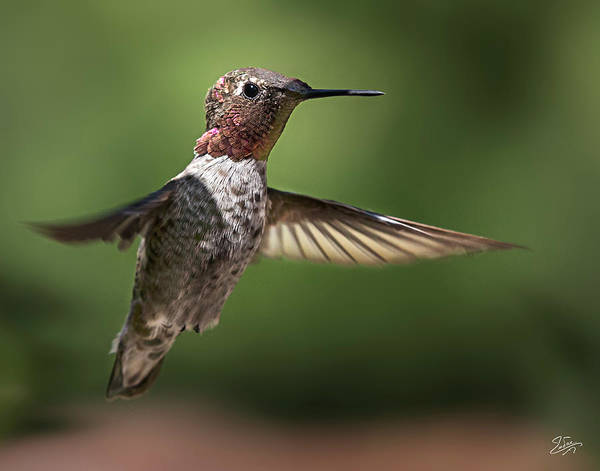 Photograph - Hummer 5 by Endre Balogh