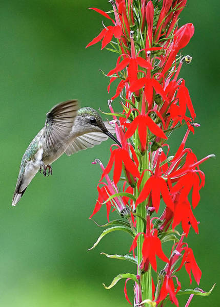 Photograph - Hummer On Cardinal Flower by William Jobes